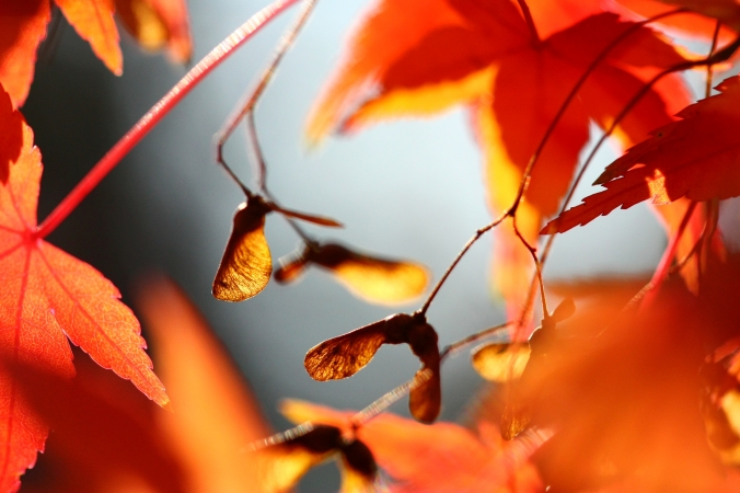 Image source: http://thebestgardening.com/maple-seed-deception/